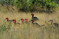 Southern ground hornbill (Bucorvus cafer) hunting in the grass.