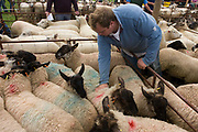 Herdsman manhandles sheep up for auction at the ancient annual Priddy Sheep Fair in Somerset, England. Surrounded by animals, a herdsman pulls sheep apart before the auctioneer arrives in this pen to start bidding in this picturesque village in the Mendip Hills. Unauthorised visitors are forbidden to enter the catle pens, avoiding the spread of epidemics like Foot and Mouth. According to tradition, Priddy Sheep Fair moved from Wells in 1348 because of the Black Death, although evidence has been found of a Fair being held at Priddy before that. There is a local legend, which says that as long as the hurdle stack shelter remains in the village, so will the Fair.