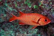 botcheye, bigscale, or yellow-fin soldierfish, Myripristis berndti, Cocos Island ( Eastern Pacific Ocean )