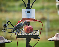 Red-bellied Woodpecker, Black-capped Chickadee. Image taken with a Nikon D850 camera and 200 mm f/2 VR lens
