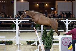 035, Napapijri van't Paradijs<br /> BWP Hengsten keuring Koningshooikt 2015<br /> © Hippo Foto - Dirk Caremans<br /> 23/01/16