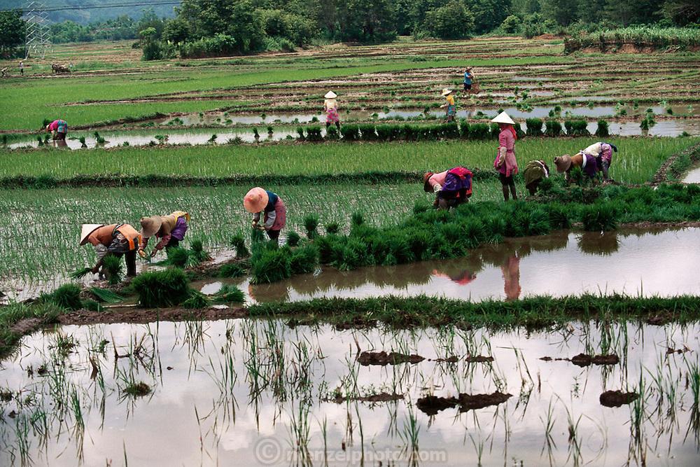 Women plant rice fields near Menghan, Xishaungbanna, China.