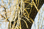 """Slender pre-spring willow strands are beginning to thicken.    Their graceful movement in the wind is both enlivening and restful to winter weary eyes.For IMAGE LICENSING just click on the """"add to cart"""" button above.<br /> <br /> Fine Art archival paper prints for this image as well as canvas, metal and acrylic prints available here:"""