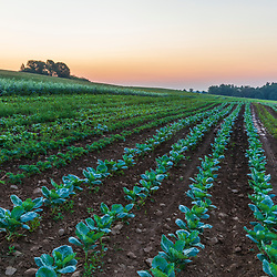 Cabbage and kale grow on a farm on Kinney Hill in South Hampton, New Hampshire.