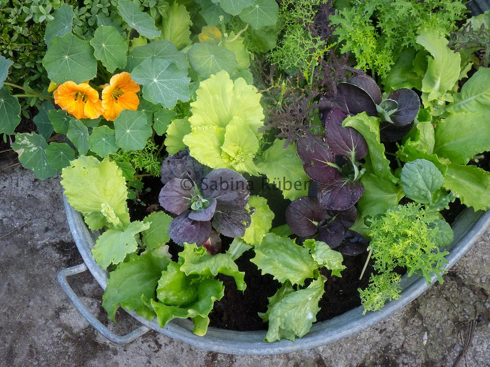 Zinc tub planted with salad seedlings and Tropolaeum 'Tip Top Apricot' - nasturtium