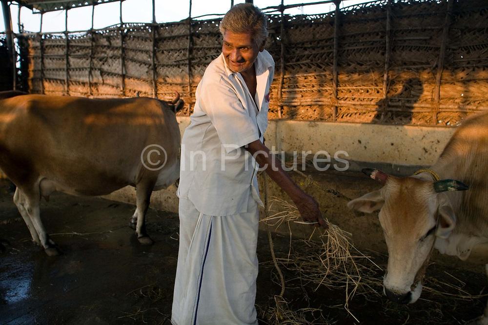 Natrajan tending the cows at the Tamaraikulum Elders village, Tamil Nadu, India