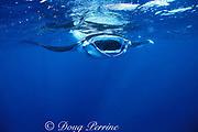 manta ray, Manta birostris, feeding on plankton,<br /> Nuku Hiva; Marquesas Islands, French Polynesia<br /> ( South Pacific Ocean )