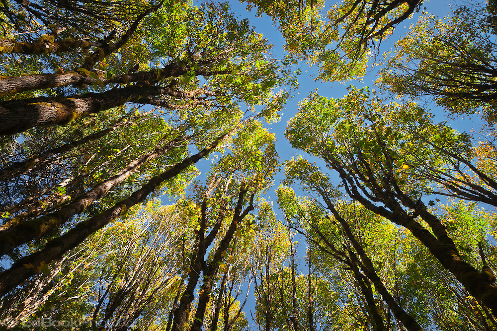 a view looking up in a Big Leaf Maple (Acer macrophyllum) grove in the Gifford Pinchot National Forest, Lewis County near the Cispus River, in the Cascade Mountain Range, Washington, USA