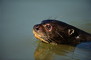 Giant Otter Swimming<br />Pteronura brasiliensis<br />Rupunini,  GUYANA.  South America<br />RANGE: Tropical South America, East of Andes