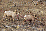 Two bighorn sheep (Ovis canadensis) walk down the flank of Druid Peak in Yellowstone National Park, Wyoming.
