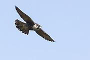 Peregrine falcon (Falco peregrinus) at Durlston. Purbeck, Dorset, UK.