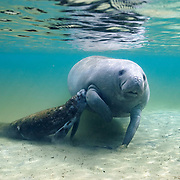 A baby manatee nursing in a freshwater spring in northern Florida.