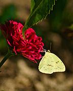 Butterfly Yellow, butterfly garden, Berks Co. PA