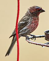 House Finch (Haemorhous mexicanus). Image taken with a Nikon D850 camera and 500 mm f/4 VR lens.
