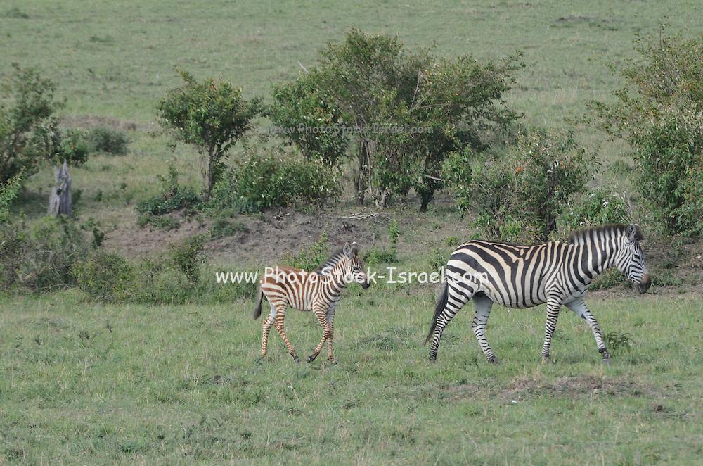 Kenya, Masai Mara common zebra (equus granti) mother and young