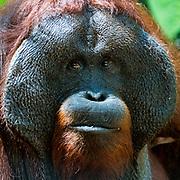 Face of a huge male orangutang (Pongo pygmaeus wurmbi) from Tanjung Putin National Park, Kalimantan, Indonesia