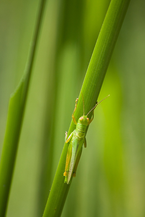 A green grasshopper holds onto a blade of grass, camouflaged against a green background, in Royal Chitwan National Park, Terai, Nepal.
