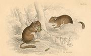Common Dormouse (Muscardinus arvellanarius), hibernating rodent.  From 'British Quadrupeds', W MacGillivray, (Edinburgh, 1828), one of the volumes in William Jardine's Naturalist's Library series. Hand-coloured engraving.