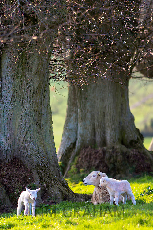 Sheep - ewe with lambs, Ovis aries, near Naunton in The Cotswolds, Gloucestershire, UK