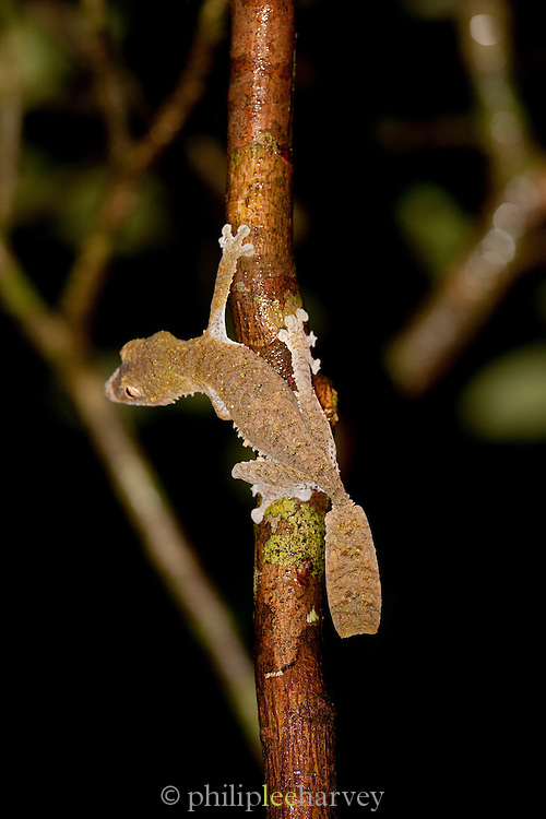 A Leaf Tailed Gecko on a tree branch on the island reserve of Nosy Mangabe, Madagascar