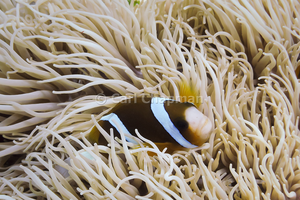 Leathery Sea Anemone (Heteractis Cripsa) and Barrier Reef Clown Anemonefish (Amphiprion Akindynos) - Agincourt reef, Great Barrier Reef, Queensland, Australia. <br /> <br /> Editions:- Open Edition Print / Stock Image