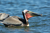 Brown Pelican Pelecanus occidentalis from Causeway between Fort Myers and Sanibel Island Florida USA