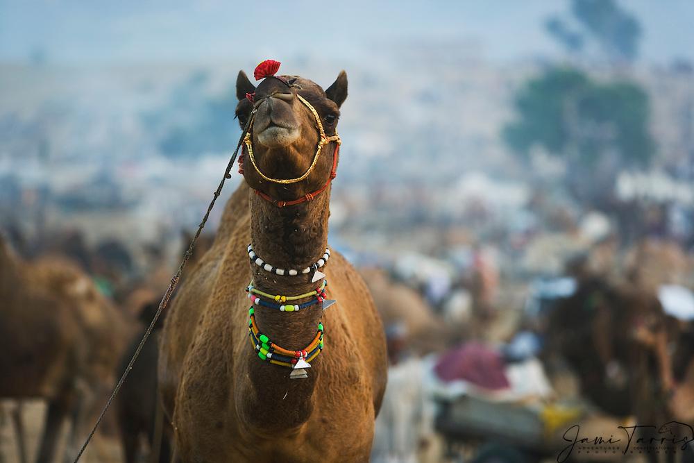A decorated camel for sale ( Camelus Dromedarius ) at the Pushkar camel fair,Rajasthan, India