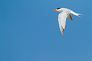 Common tern (Sterna hirundo) in flight. This seabird is found in the sub-arctic regions of Europe, Asia and central North America. It migrates to the subtropical and tropical oceans. The common tern grows up to 37 centimetres with a wingspan of 70- 80 centimetres. Photographed in Israel
