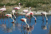 Large flock of Greater flamingo (Phoenicopterus ruber). Photographed in Serengeti National Park, Tanzania