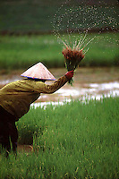 moving rice from dry to wet paddies..Laos..photo by Owen Franken.