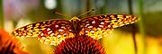 Fritillary Butterfly on Coneflower