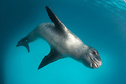 Full body view of a Leopard seal (Hydrurga leptonyx) during a close encounter at Astrolabe Island, Antarctica