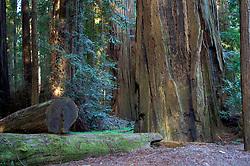 California Redwoods, California Redwoods State Park, avenue of the Giants, Phillipsville, California