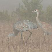Sandhill Crane (Grus canadensis) pair in the fog during the fall in Yellowstone National Park.