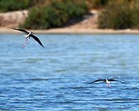 Black-winged Stilt (Himantopus himantopus). Parque Nacional de Donana. Image taken with a Nikon D4 camera and 80-400 mm VR lens.