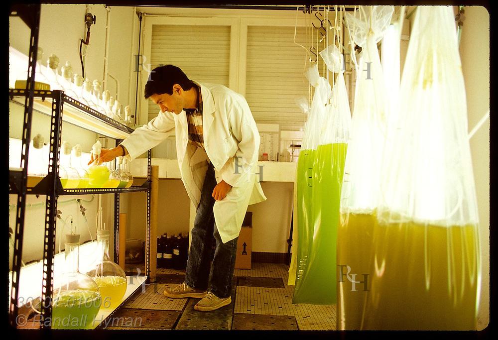 IFREMER biologist Claude Le Bec inspects flasks of algae used for oyster food; La Trinite/Mer. France