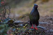 Blood pheasant, Ithaginis cruentus, male, standing on the ground in amid autumn colours and sceneries in the Baima Snow Mountain Nature reserve, Yunnan, China