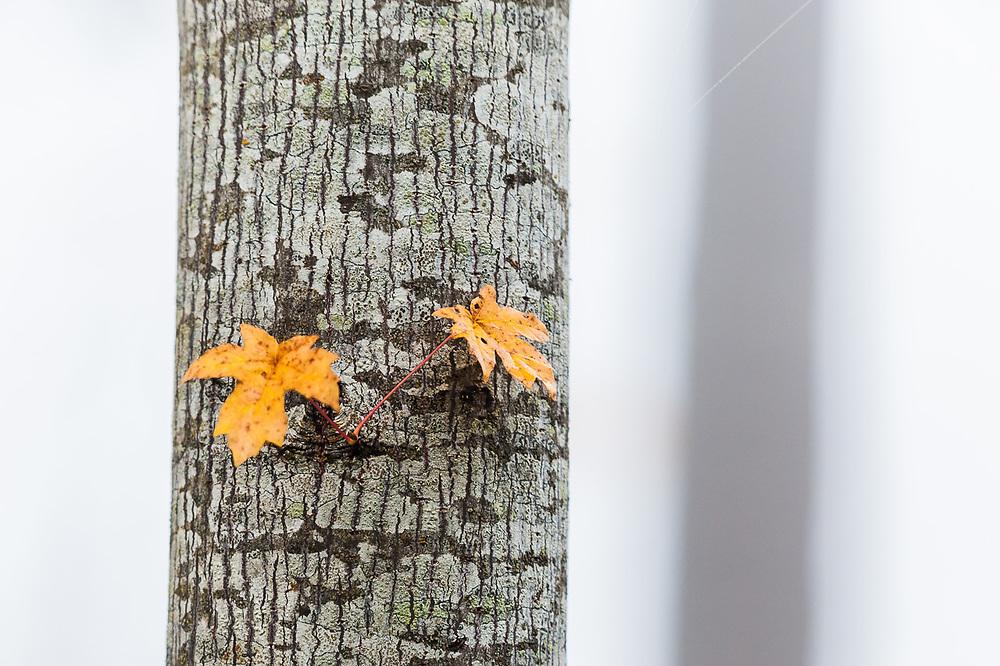 Bigleaf maple (Acer macrophyllum) in fog, October, Clallam County, Olympic Peninsula, Washington, USA