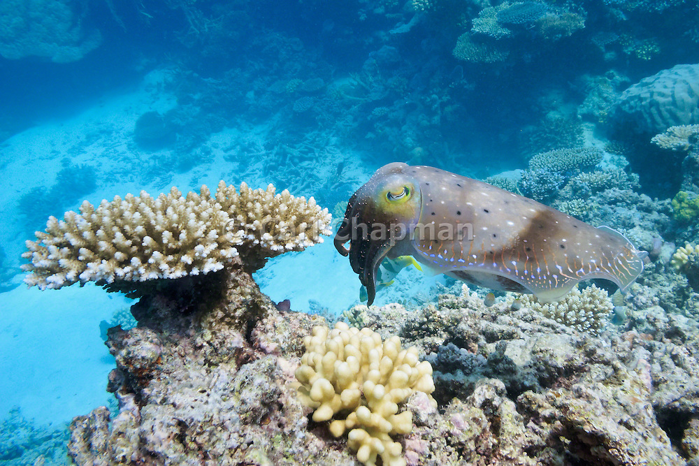Reef or broadclub cuttlefish (sepia latimanus) and acropora cerealis coral on coral reef  - Agincourt reef, Great Barrier Reef, Queensland, Australia. <br />