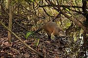 Crab-eating Raccoon (Procyon cancrivorus) HABITUATED<br /> Savannah<br /> Rupununi<br /> GUYANA. South America<br /> RANGE: Central and South America including Trinidad and Tobago