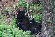Nursing Black Bear cubs in Yellowstone National Park.