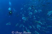 Ali Westby photographs school of crevalle jacks, Caranx hippos, Gladden Spit Marine Reserve, off Placencia,  Belize, Central America ( Caribbean )