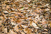 Fallen sweet chestnut tree leaves on the ground