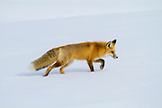 Red Fox (Vulpes fulva)during winter in Yellowstone National Park