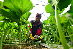 May 5, 2017  A farmer works at a vegetable plantation in Hefei, east China's Anhui Province, the day marking ''lixia'', the beginning of summer, the 7th term of China's ''24 Solar Terms''.  (Credit Image: © Xu Yong/Xinhua via ZUMA Wire)