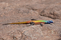 Rainbow Lizard sunning on rocks, Zimbabwe, Africa. Wildlife photography, nature photography, stock images