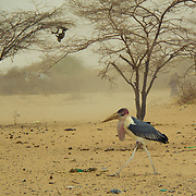 A Malibu stork, which - like the vulture - has less need to worry compared with most other creatures during a drought. Laghbogo, North Eastern Kenya.