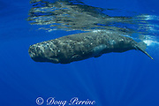 baby sperm whale calf ( Physeter macrocephalus ) Endangered Species - crater scars are from bites of cookie-cutter shark - patches of skin are peeling as part of normal shedding process - Kona Hawaii ( Central Pacific Ocean )