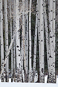 Aspen grove with snow in Sunlight Basin in the Shoshone National Forest Wyoming
