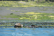 California sea otter, Enhydra lutris nereis ( threatened species ), resting while wrapped in eel grass or eelgrass, Zostera sp. to keep from floating away, Elkhorn Slough, Moss Landing, California, United States ( Eastern Pacific )